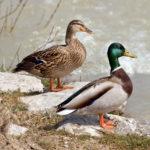 Canards-aux-jardins-deau-dannevoie