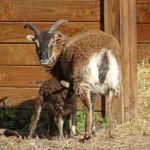 La-tétée-dun-agneau-des-Jardins-DAnnevoie