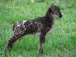 Jardins-DAnnevoie-agneau