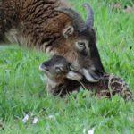 Jardins-DAnnevoie-agneau-et-sa-maman
