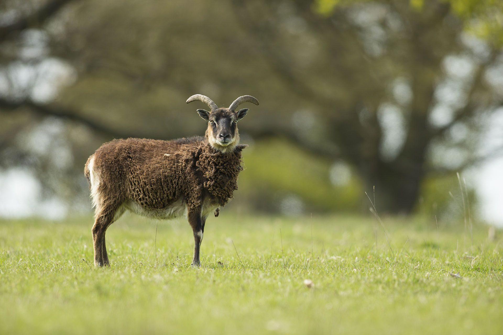 Mouton-soay-aux-Jardins-DEau-Dannevoie